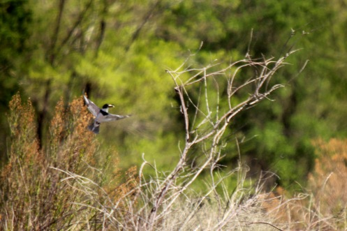 Belted Kingfisher, RGNC NM