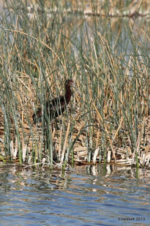 White-faced Ibis, Belen Marsh