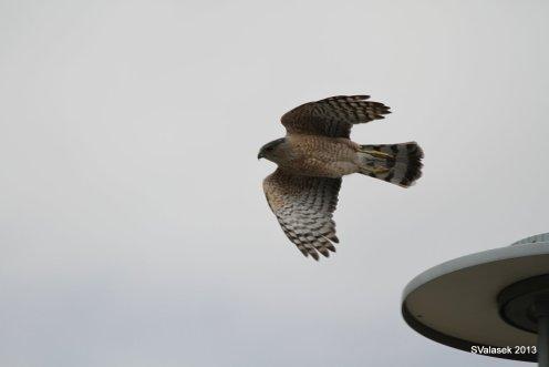 Cooper's Hawk, Corrales NM