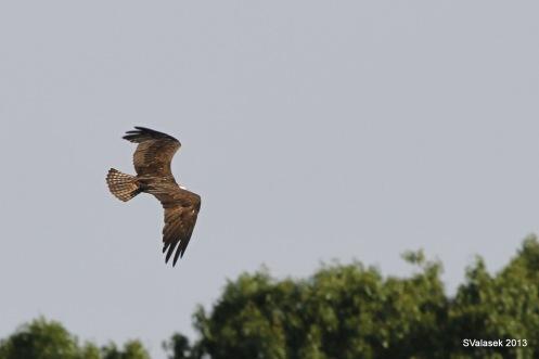 Osprey, Branford CT