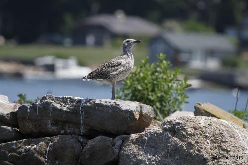 Gull Chicks, Thimble Islands CT