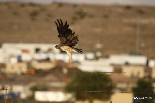 Swainson's Hawk, Valle de Oro NWR, ABQ NM