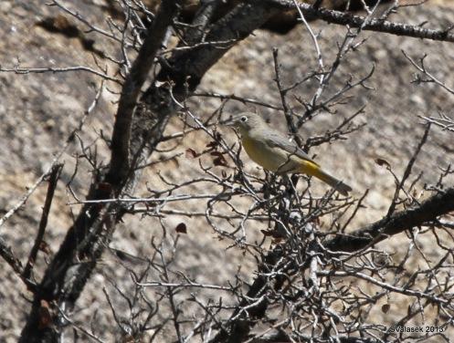 MacGillivray's Warbler, Embudito Canyon, ABQ NM