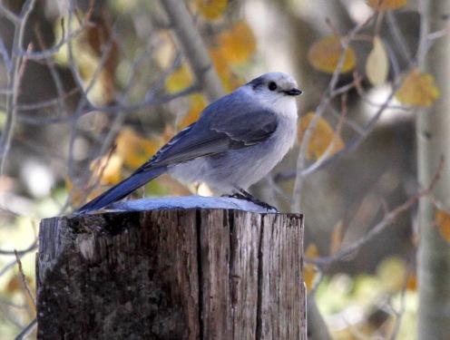 Gray Jay, Santa Fe Ski Basin NM