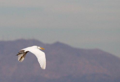 Great Egret, Buckeye AZ