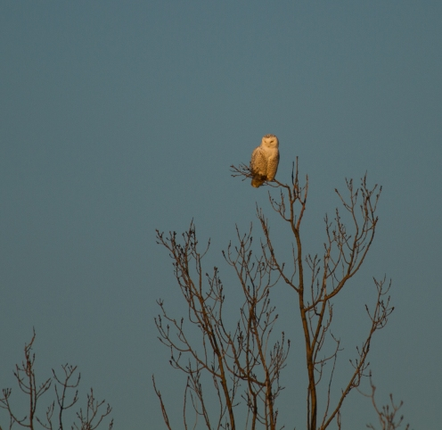 Snowy Owl, PISP Erie PA